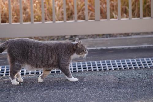 道路の端を歩いている猫