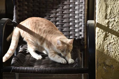 籐のイスで爪研ぎする猫