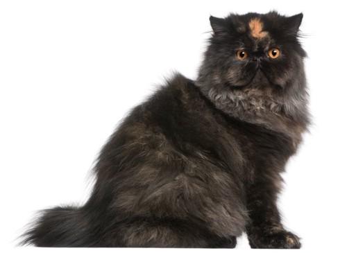 額に模様がある黒いペルシャ猫