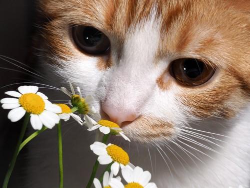 花の匂いをかぐ猫の顏のアップ