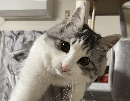 遊ぼうとする猫