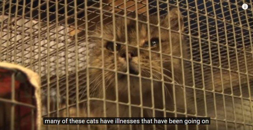 目に感染症が見れらるケージの中の猫