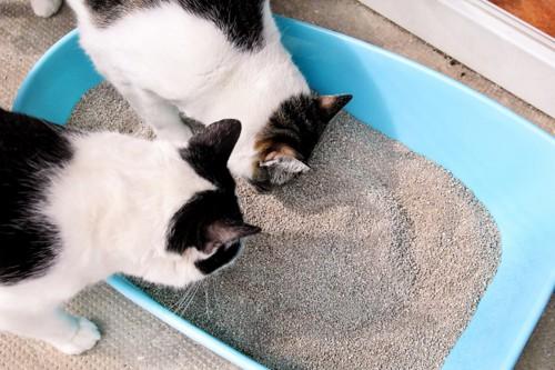 トイレの砂を見る二匹の猫