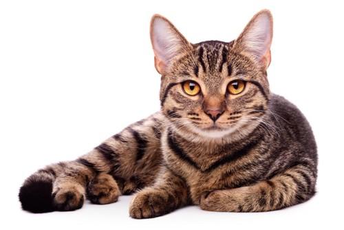 オレンジ色の瞳の猫
