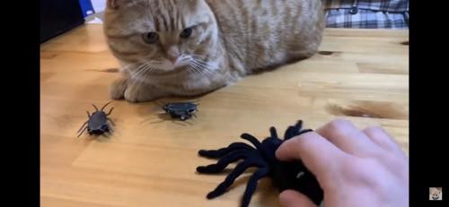 蜘蛛のぬいぐるみを見つめる猫