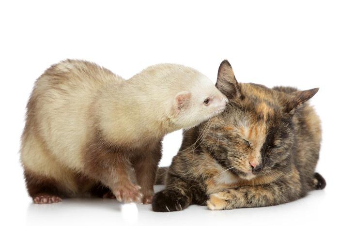 猫のニオイを嗅ぐフェレット