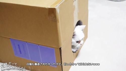 箱から顔を出す白猫