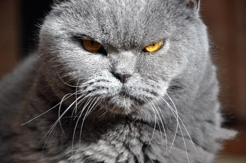 鋭い眼差しの猫