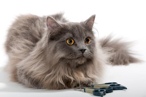 スモークタイプのペルシャ猫