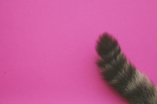 ピンクの背景と猫のしっぽ