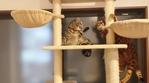 怒る猫とキャットタワーを登る猫