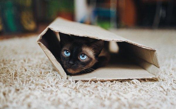 段ボールに隠れる子猫
