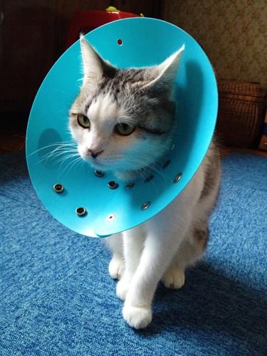 青いエリザベスカラーをしている猫