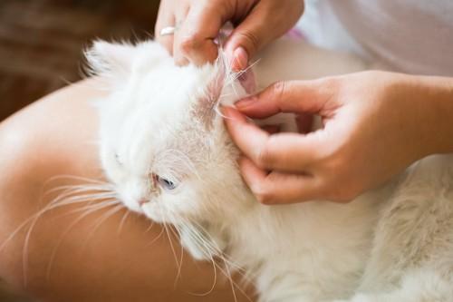 耳の中を飼い主にチェックされている猫