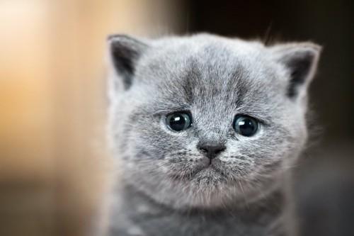 不安げな表情で見つめる子猫