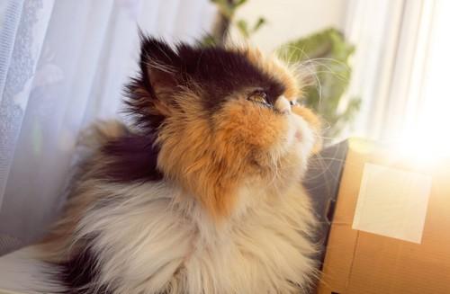 三毛猫のペルシャの横顔