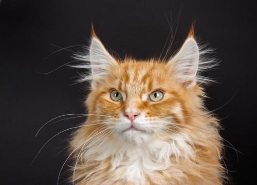 茶色い毛の猫