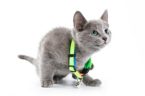 ゆるい首輪をした猫