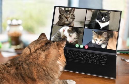 リモート会議する猫