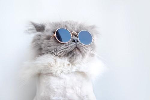 サングラスをかける猫