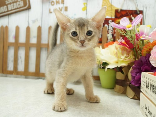 子猫のアビシニアンブルー
