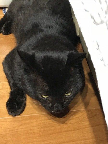 フローリングに寝そべっている黒猫