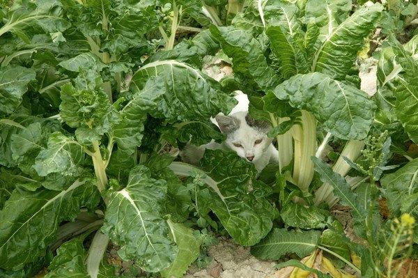 野菜畑に白い猫