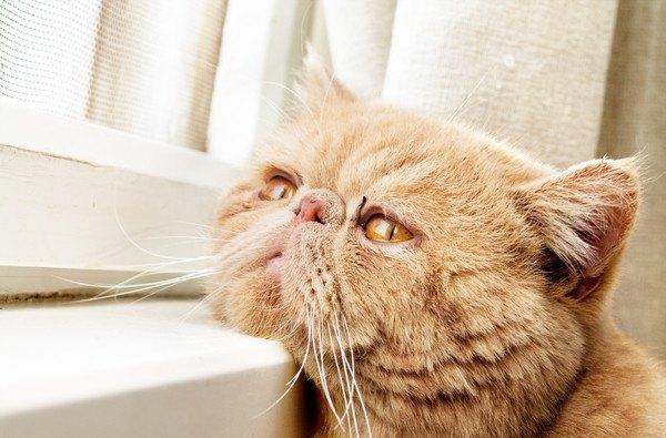 寂しそうに窓を見る猫