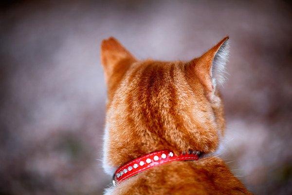 赤い首輪をする猫の後頭部