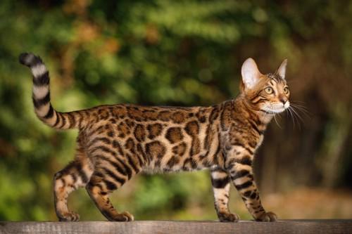 散歩するベンガル猫