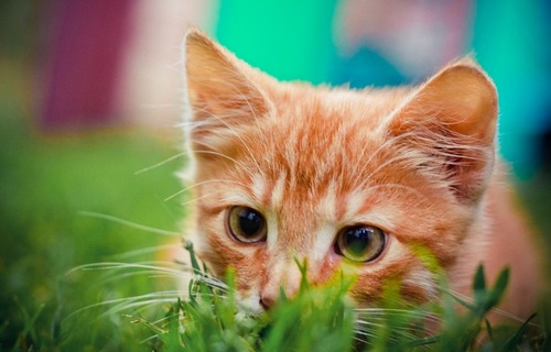 草むらから見つめる猫