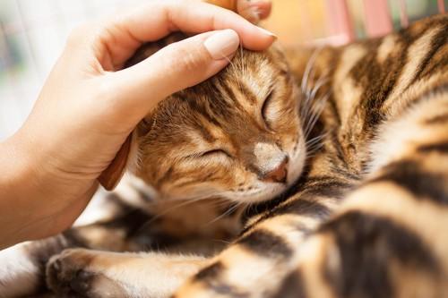 飼い主に頭を撫でられて嬉しそうな猫