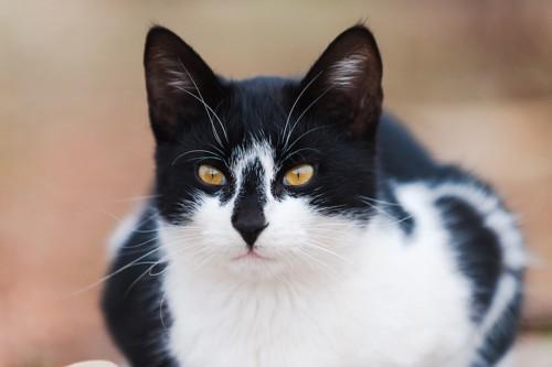 鼻がコアラのような模様の猫