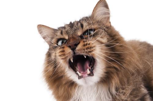 大きく口を開けて威嚇している猫