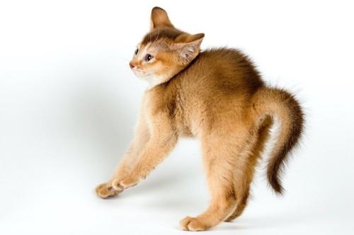 体を退け反らせて威嚇している子猫