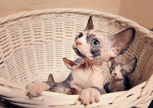籠の中のスフィンクスの子猫たち