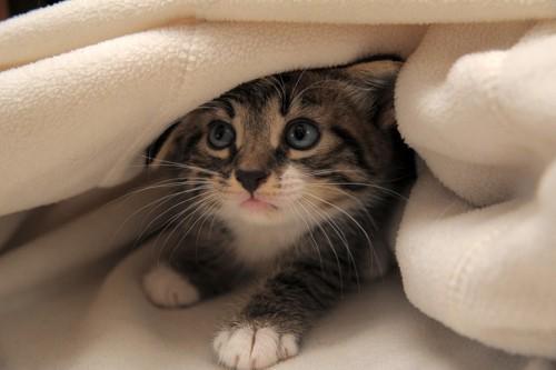 毛布に隠れている猫