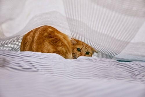 シーツの中に隠れてこちらを見ている猫