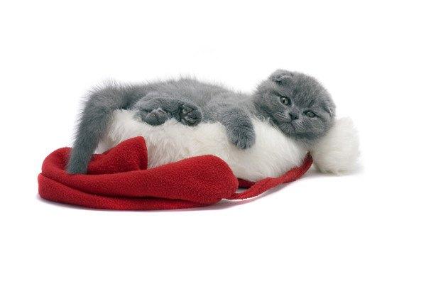 赤と白の帽子と灰色猫
