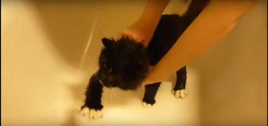 シャワーを嫌がる猫