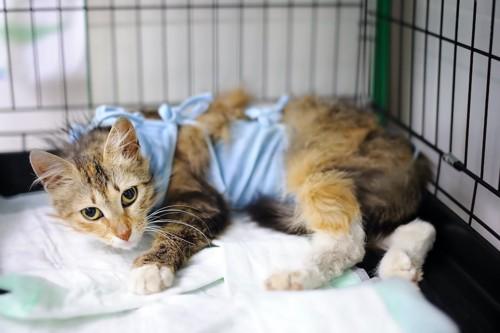 ケージの中で休む術後服を着た猫