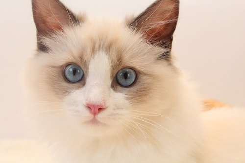 ブルーの瞳のラグドールの顔アップ