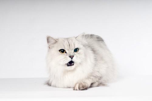 鳴くシルバーの猫