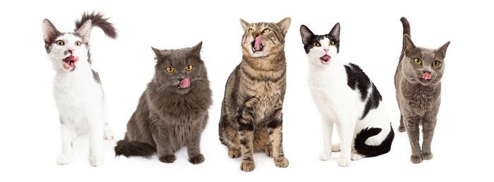 舌ペロする猫たち