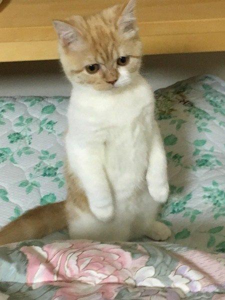布団の上で立つ子猫