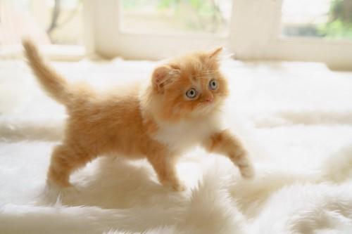 ふかふかの毛布の上のチンチラゴールデンの子猫