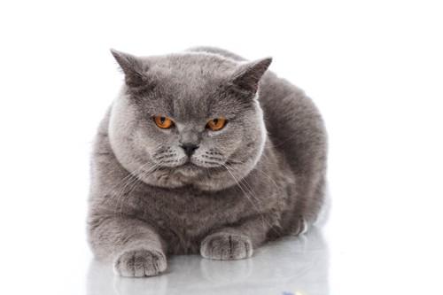 不満顔のグレー猫