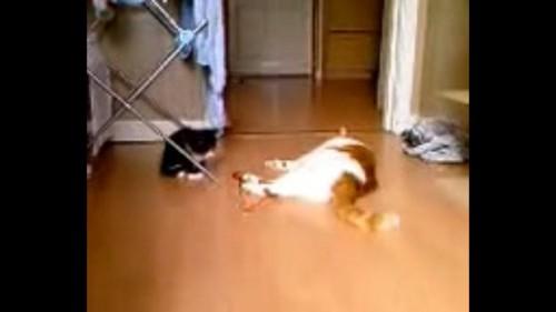 ひもに近づく子猫