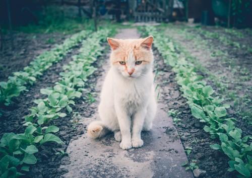 畑に座る猫の写真