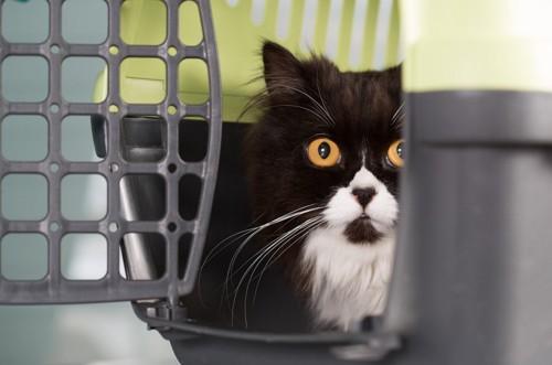 キャリーバッグから覗く猫